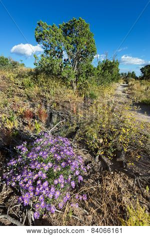 Purple Asters In Northern New Mexico