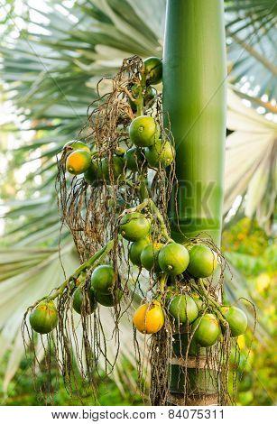 Closeup Ripe Areca Nut Or Areca Catechu, Raw Betel Nut