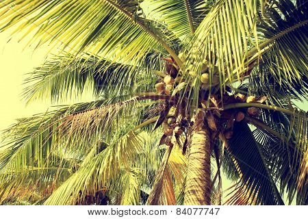 coconut tree with fruits in the blue sunny sky
