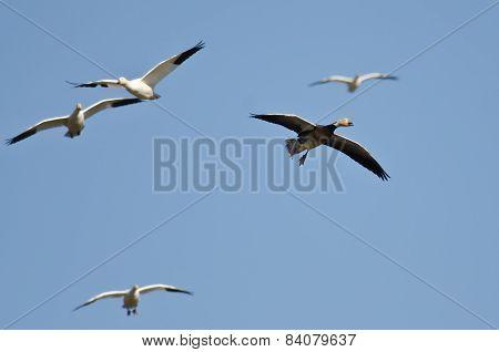 Blue Goose Flying In A Blue Sky