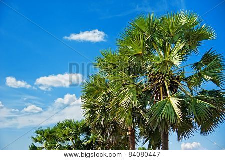 Palms Against Blue Sky