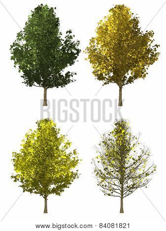 Ginkgo Tree Isolated On White