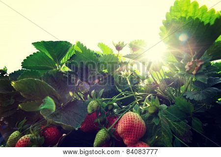 strawberry in growth at garden