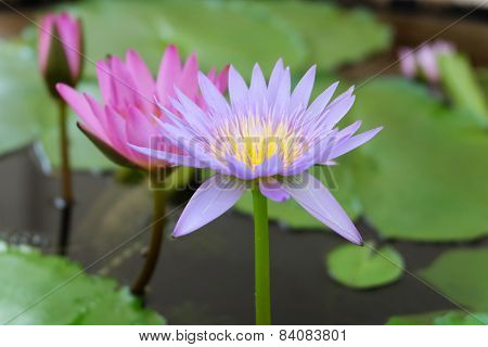 Hardy water-lily  lotus