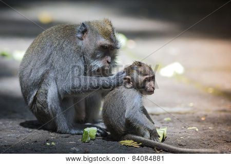 Long Tailed Macaque With Her Infant