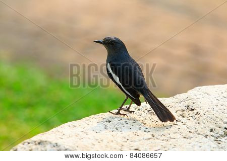Wild Female Robin Birds Perching On Rock With Blur Background