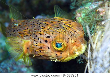 Normal Shape Blow Fish