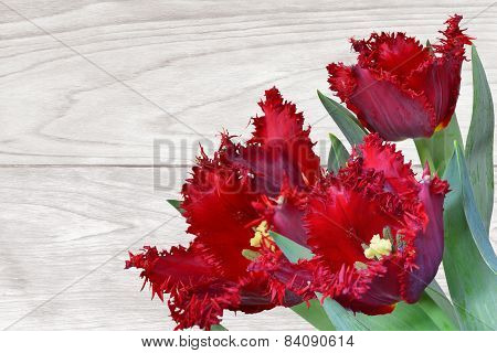 Red Fringed Tulips On Wooden Background