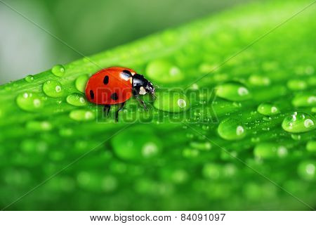 Lady Bug On Fresh Grass