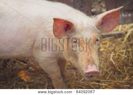 Young Pig On Breeding Farm