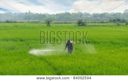 Labour Spray Pesticide In Rice Field