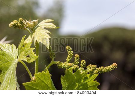 young green unripe wine grapes