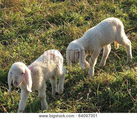 Two Little Lambs Graze In The Meadow