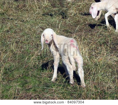 Lamb Of The Flock Of Sheep Graze