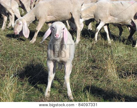 Lamb Of The Flock Of Sheep Graze