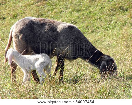 Young Lamb With Mother Graze In The Meadow