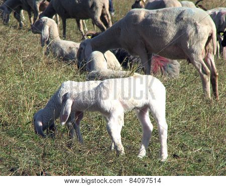 Large Flock With Many Sheep Grazing