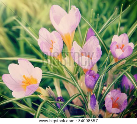 Beautiful Crocuses In The Grass Under The Sun