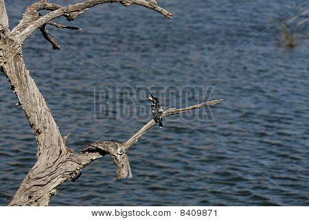 pied-kingfisher