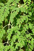 pic of moringa oleifera  - Leaves of organic Moringa oleifera in day light - JPG