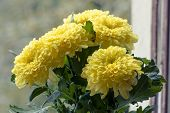 picture of chrysanthemum  - Beautiful large bouquet of yellow autumn chrysanthemums - JPG