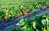 stock photo of strawberry plant  - closeup of strawberry plants in growth at field - JPG