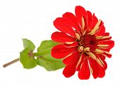 image of zinnias  - A beautiful red zinnia flower with stem and leaves isolated on a white background - JPG