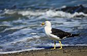 picture of greater  - Greater Black  backed Gull on the beach - JPG