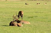 stock photo of cervus elaphus  - Roosevelt Elk Cervus elaphus roosevelti in a grassy meadow feeding - JPG