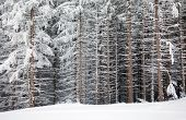stock photo of snow forest  - Pine tree trunks covered with snow in winter on the edge of the forest - JPG