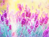 picture of lavender plant  - Soft focus on beautiful lavender - JPG
