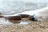 pic of fish pond  - Water snake with the entrapment of fish on the shore of the pond - JPG