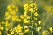 picture of biodiesel  - GMO rapeseed plant on a huge field for production of biodiesel close - JPG