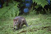 foto of wallabies  - Pademelon wallaby in the bushland in Queensland - JPG