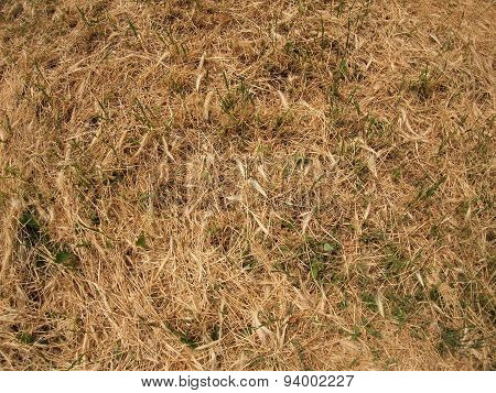 Dry Grass In A Meadow