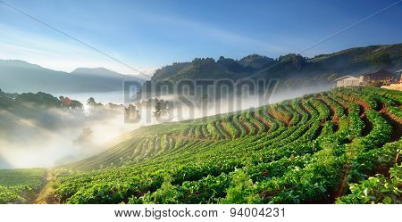 Strawberry Field At Doi Angkhang Mountain, Chiang Mai, Thailand.