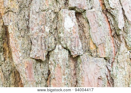 Close up Bark of Pine Tree ,texture background