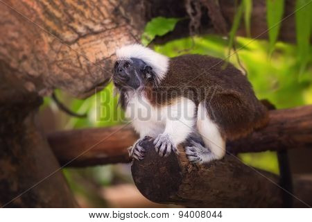 Tamarin cotton top monkey sitting in a tree.