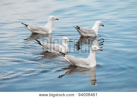 Sea Gulls Paddling on Water