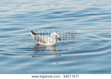 Seagull / Sea Gull on Water