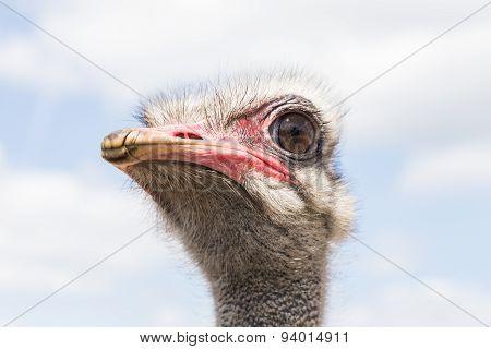 big ostrich head