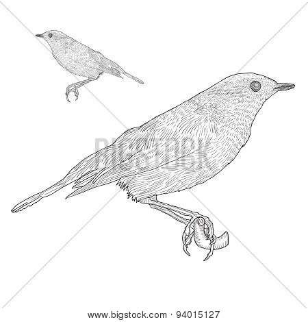 Bird Sitting Down On The Twig, Botanical Vintage Illustration.