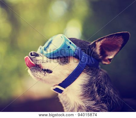 a cute chihuahua wearing goggles and sitting outside during summer time licking his nose (VERY SHALLOW DOF on the tip of the nose)  toned with a retro vintage instagram filter effect app or action
