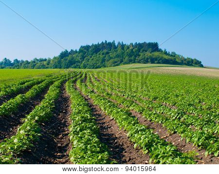 Young plants growing in furrows