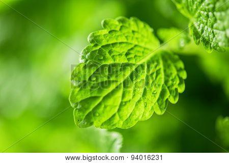 Green fresh melissa leaves close up