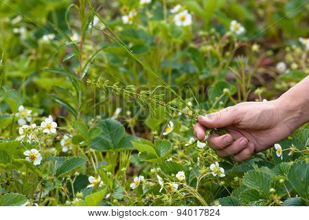 Weeding Of Blooming Strawberries In The Garden