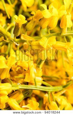 Yellow Winter Cress Flowers