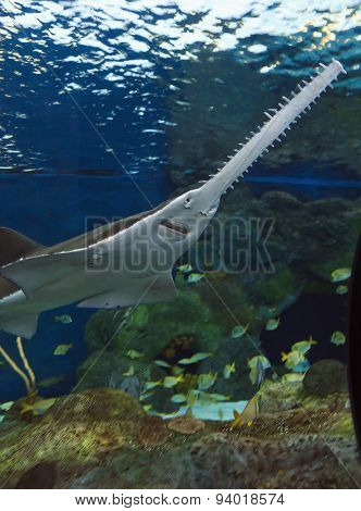 Sawfish in the Water