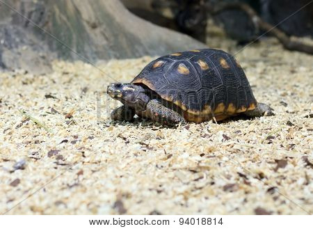 spur-thighed turtle eating grass