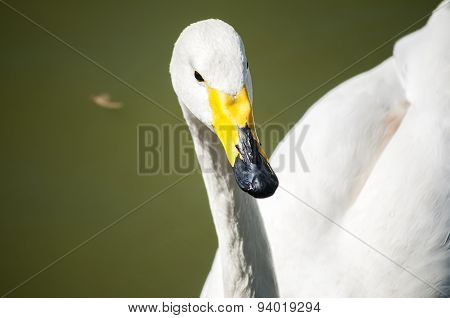 Whooper swan closeup